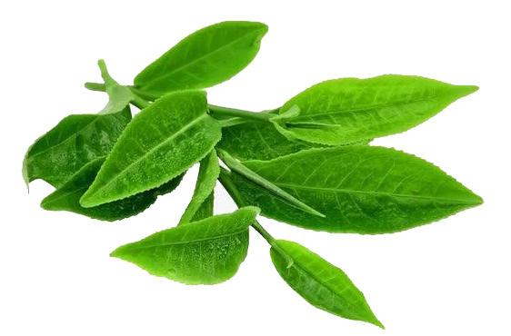 Tea Extract L-theanine