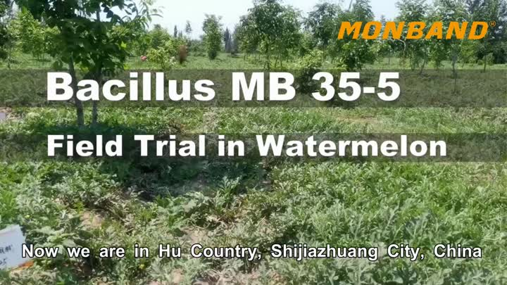 Bacillus MB 35-5 Field Trial in Watermelon.mp4