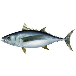 Albacore tuna illustration