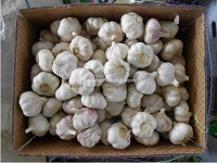 New normal white garlic