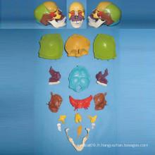 Modèle naturel de squelette de crâne humain pour l'enseignement médical (R050130)
