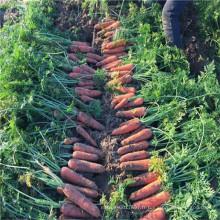 Légumes à vendre héritage hs code semence carotte hybride F1 culture de semences agricoles ensemencement ensemencement (51005)