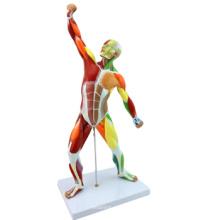 Купить Один Набор, Нет.-12308 пластик 55см мини-модель анатомии мышц человека , анатомические модели человека