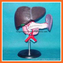 Modelo anatômico de fígado plástico, pâncreas e duodeno