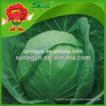 Chino vegetales orgánicos Col verde fresco de nuevo cultivo