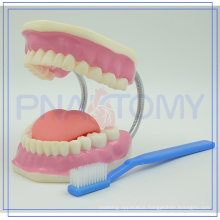 PNT-0520 plastic big Dental Care 28 teeth Model with teeth brush