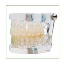 TM-C13 Transparent Standard Model for Oral Teaching