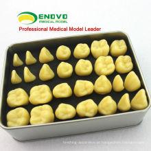 Modelo humano da anatomia do dente da resina da qualidade de TOOTH01 (12573) com empacotamento do Portable da caixa da liga