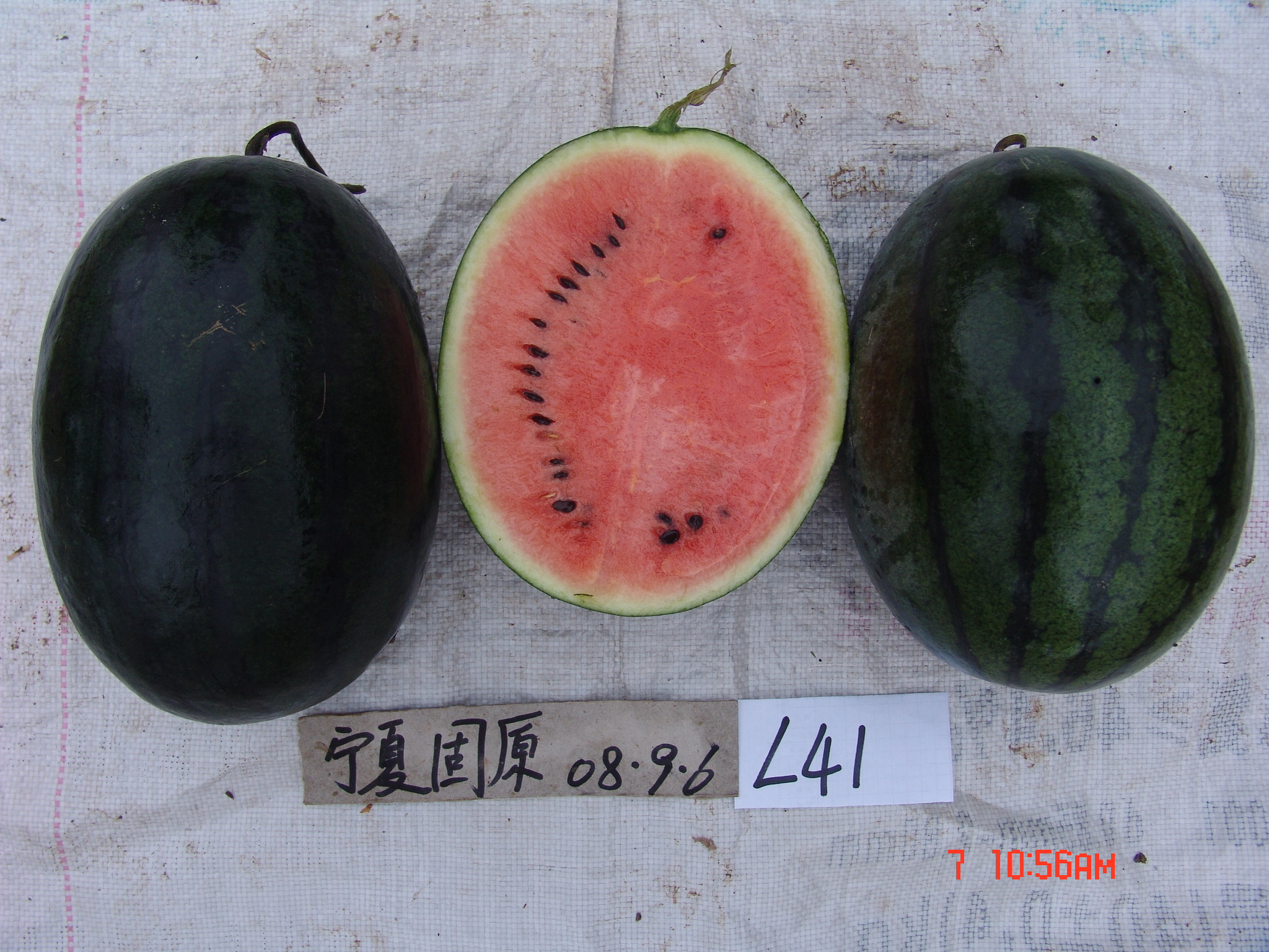 Black not seedless Watermelon Seeds