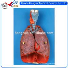ISO Larynx, Herz und Lunge Modell