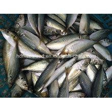 Nuevo pescado redondo Scad (14-18cm)