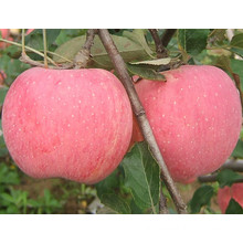 Top Quality Blush FUJI Apple Full Color