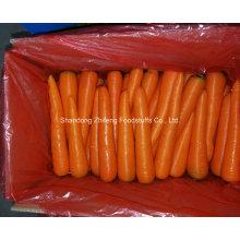 Carotte rouge fraîche pour l'exportation