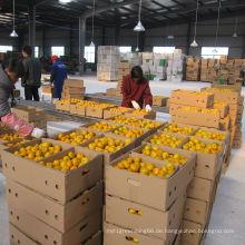 Chinesischer regulärer Lieferant von frischem Baby Mandarin Orange