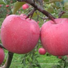 red fuji china fuji shandong Fuji apples