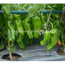 P31 Lvwen frühe Reife große Größe Hybrid grüne Paprika Samen
