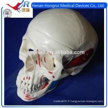 Anatomie ISO Modèle de crâne avec muscles