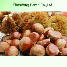 Chestnut fresco chino orgánico Chestnut fresco chino