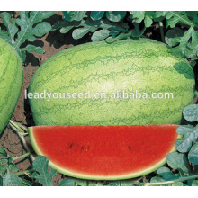 MW041 Baofeng mid maturity round hybrid watermelon seeds for sales