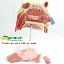 THROAT07 (12513) Modèle anatomique de science médicale de la cavité nasale humaine