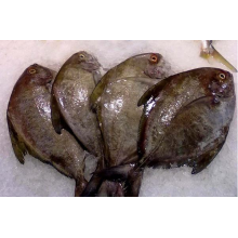 Sea Frozen Black Pomfret Venda inteira