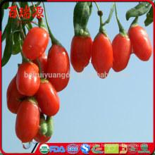Bayas de Goji orgánicas 100% orgánicas de goji se secaron la baya de goji con alta tasa de exportación