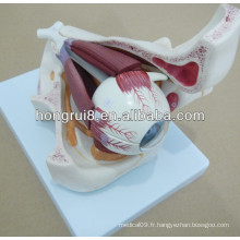 Modèle d'oeil en plastique, modèle d'oeil anatomique avec orbite