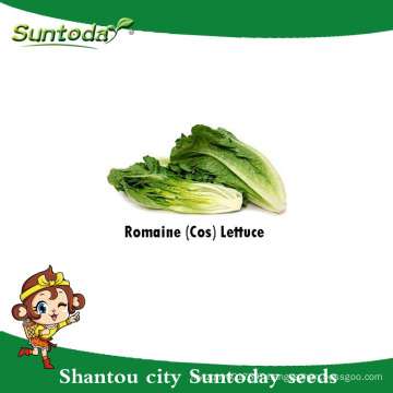 Suntoday Asian vegetable salad usage green leaf garden plant F1 Organic romaine lettuce seeds planter germination(32001-1)