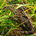 Premium quality black rice long-grain
