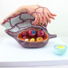 ANATOMY27 (12465) Clinical Female Vergrößerung der Eierstöcke Struktur Anatomisches Modell, 3 Teile, 5-fache Vergrößerung, Anatomie Schwangerschaftsmodelle