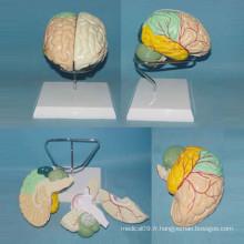 Modèle anatomique de cerveau étiqueté à l'homme pour la démonstration (R050101)