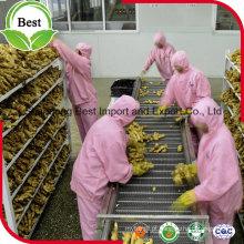 Gengibre fresco orgânico chinês jovem