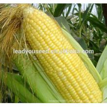 MCO06 Tian resistente ao calor sementes de milho doce amarelo-dourado para o plantio