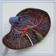 PNT-0472 Bom Modelo de Fígado Humano de Treinamento de Anatomia para clínica