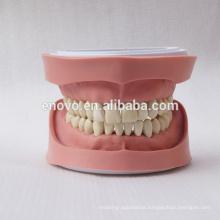 Standard K Type Removable Teeth Dental Anatomical Model 13004