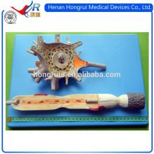ISO Menschliches Anatomisches Modell des Neuron Modells