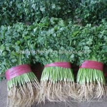 CN01 Kuaida gran hoja a prueba de calor semillas de cilantro precio