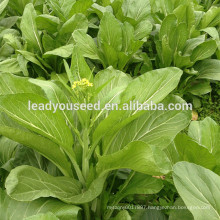 MPK21 Caixin dark green leaf chinese pakchoi seeds company