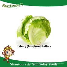Suntoday vegetal F1 Organic Lactuca sativa water plantting longifolia iceberg lechuga semillas (32002-3)