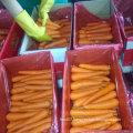 New Harvest of Good Quality of Fresh Carrot