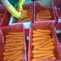 Nova Colheita de Boa Qualidade de Cenoura Fresca