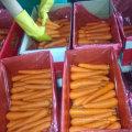 Nouvelle récolte de bonne qualité de carottes fraîches