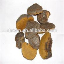 Phellinus Fungus