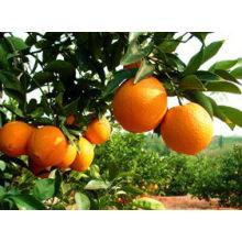 fresh Mandarin orange in china