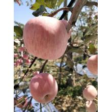 Manzana Fuji roja fresca sin embolsar