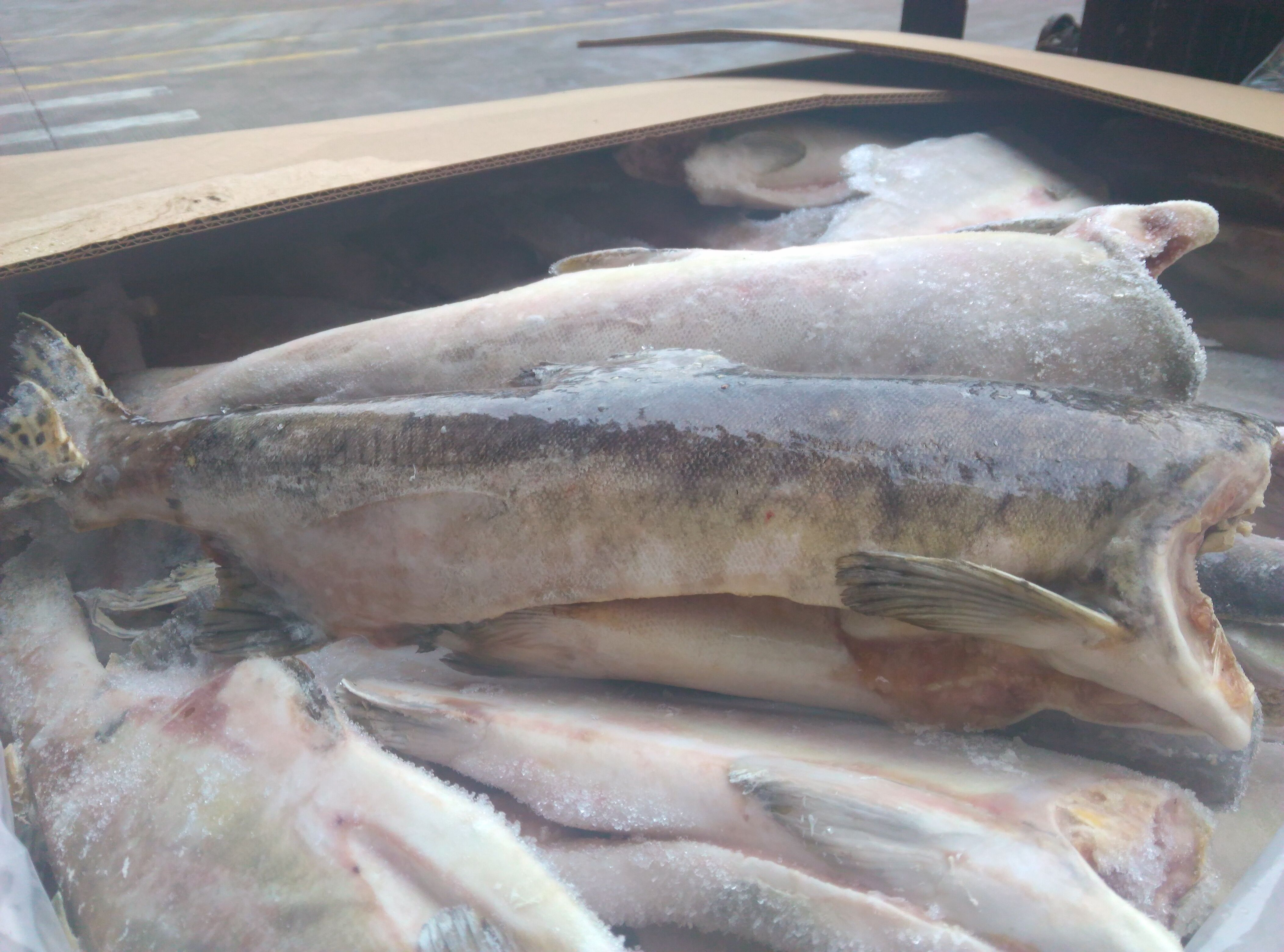 Pink Salmon in Water