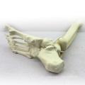 TF06 (12317) Os synthétiques - Squelette du membre inférieur (droit ou gauche), modèles SWABone / tibia + fibula + squelette du pied