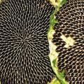 Semillas de girasol no gmo con cáscara