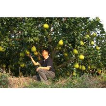 Новый свежий урожай 2013 года плоды помело