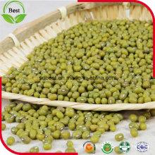 3,2 мм прорастания зеленой фасоли Мунг